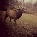 Wapiti - Kanadský jelen