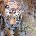 Tigrik