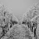 Zimní vinohrad