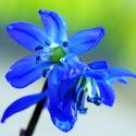 Modrá krása