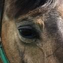 Oko koně