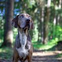 Laopardí pes