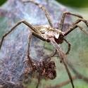 Pavouček (Lovčík hajní).