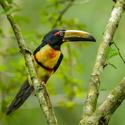 Arassari pestrý (Pteroglossus torquatus)