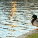Kachna na břehu