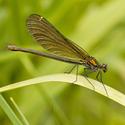Calopteryx virgo - Motýlice obecná (Samička)