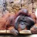 Orangutan Ňuňák