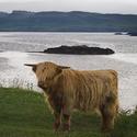 Skotské tele na skotském pobřeží