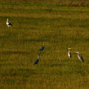 Čtyři volavky a čáp