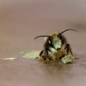 Zrození včely samotářky