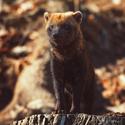 Pes pralesní