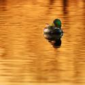 Osamělý kačer