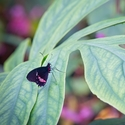 otakárek (Papilio anchisades)