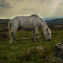 Národní park Dartmoor - Divoký kůň