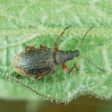 Listohlod - Phyllobius