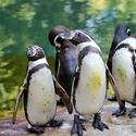 Tučňáci v Zoo Lešná