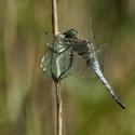 Vážka černořitná (Orthetrum cancellatum) - kluk ,se svačinou
