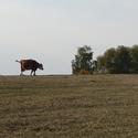 Kráva a balon
