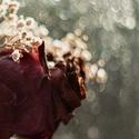 Když růže vadnou ...