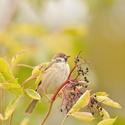 vrabec polní na bezu