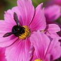 zvláštna včela