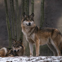 Vlk evropský
