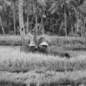 mlácení řýže
