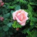 Roses ♥ (pink, loner)