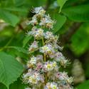Květ kaštanu