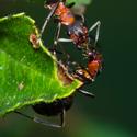 Formica pratensis (Mravenec travní)