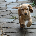 štěně Kokršpaněla