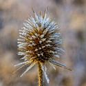 Štetka lesná (Dispacus fullonum )
