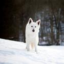 Vlk ve sněhu