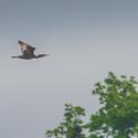 letící Kormorán