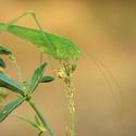 Kobylka křídlatá -  ( Phaneroptera falcata )