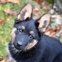 Agnes Badaluhami - Chodský pes (2 měsíce)