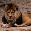 Mlsný lev