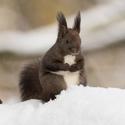 veverka v sněhové nadílce