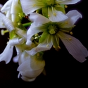 Masožravka kvete