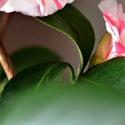 zimní růže - kamélie