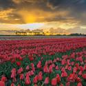 Tulipánové moře