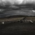 straky vs ovce