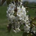 Jaro je tady-květ jabloně