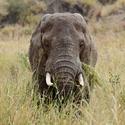 Slon samotář