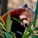 Mlsná panda červená