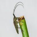 Tesařík úzkoštítý (Agapanthia villosoviridescens)