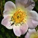 Mravenec v šípkovém květu
