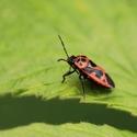 Ruměnice  pospolná---   Pyrrhocoris apterus