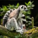 Lemur na větvi