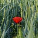 Ozdoba pšeničního pole....